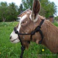 basic-goat-rope-halter_1218077