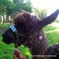 fancy-goat-or-llama-rope-halter_1426320